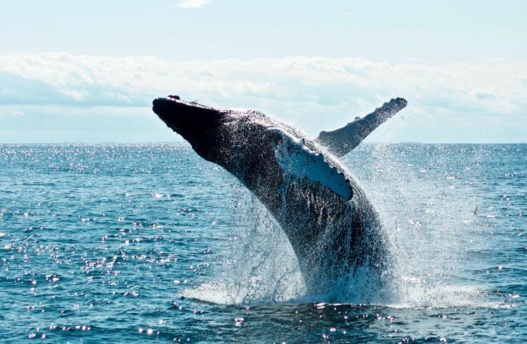 Terceira maior baleia de Bitcoin compra quase 17.000 BTC